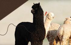 Alpaka Wollprojekt